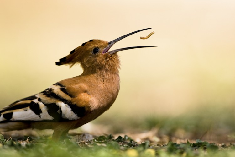 African Hoopoe (Upupa africana) - Kruger National Park, South Africa