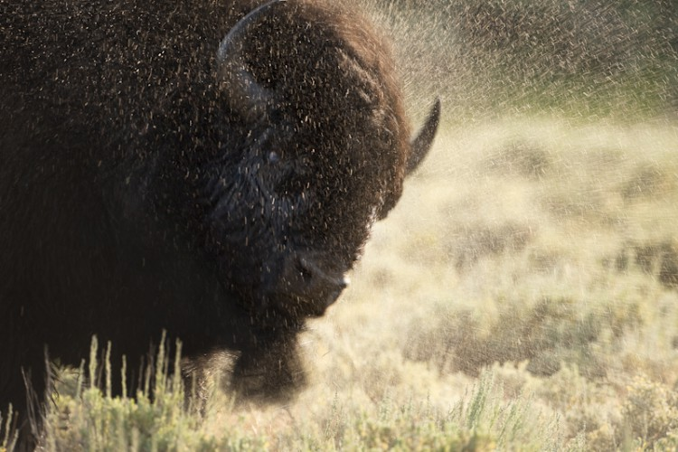 After the Bath, Bison, Yellowstone Park, Wyoming, U.S.A.