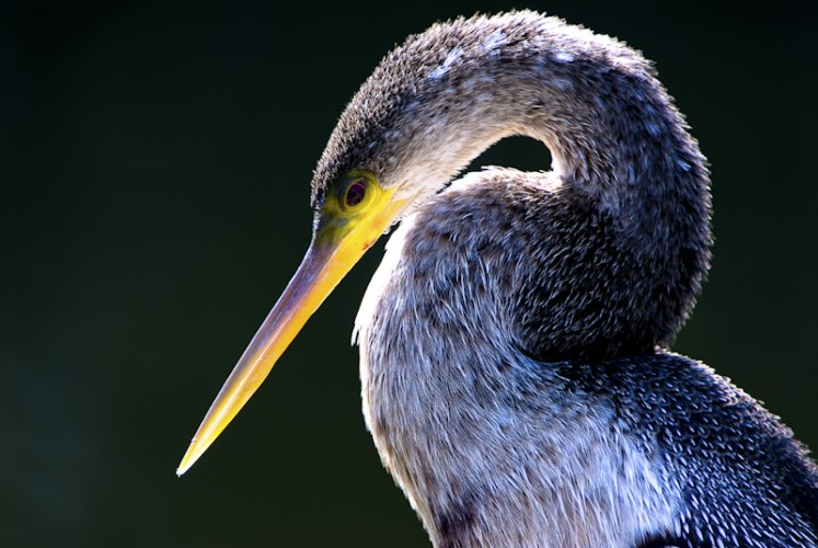 Everglades National Park, Florida U.S.A. - Anhinga ( Anhinga anhinga )