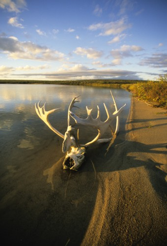 Caribou Antlers, Thelon Sanctuary, Canadian Arctic