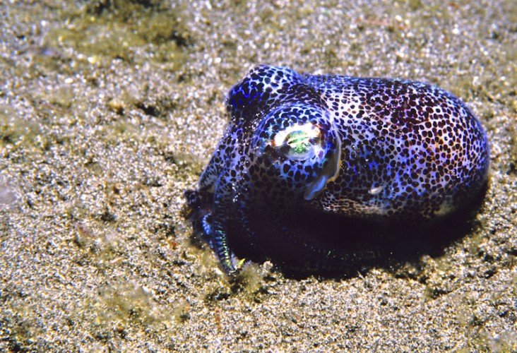 Cuttelfish, Indian Ocean