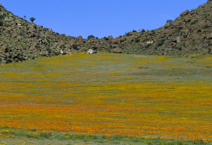 Desert Bloom, Namaqualand, South Africa