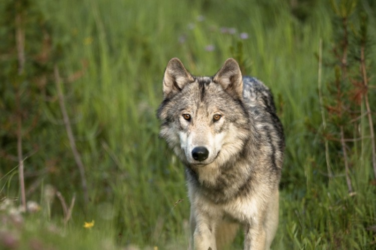 Eyes of the Wolf, Yellowstone Park, Wyoming, U.S.A.