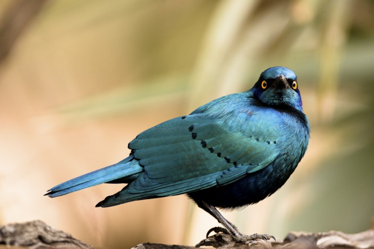 Glossy Starling (Lamprotornis nitens)