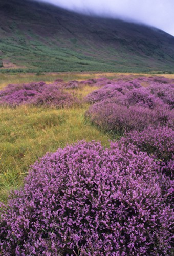 Heathcliff, Scotland's Highlands