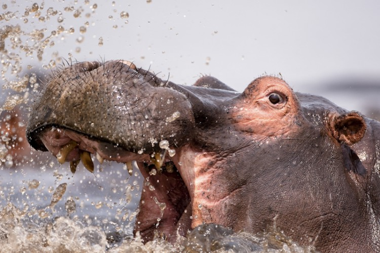 Hippo, Chobe River, Botswana