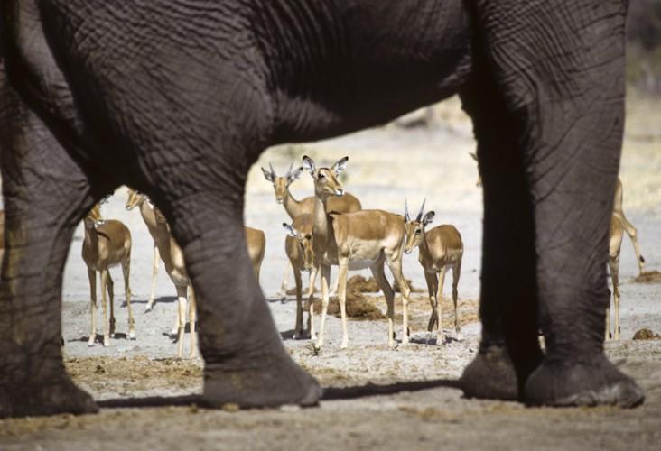 Impalas, Savuti, Botswana