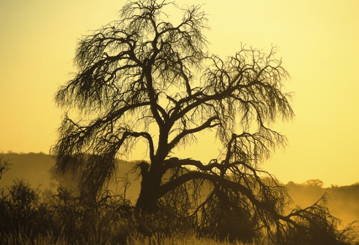 Camelthorn tree, Kgalagadi N.P.- South Africa