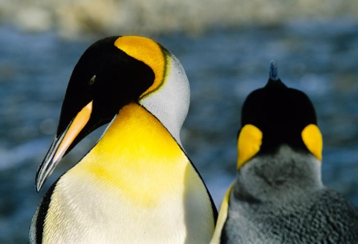 King Penguin, South Georgia, Atlantic Ocean