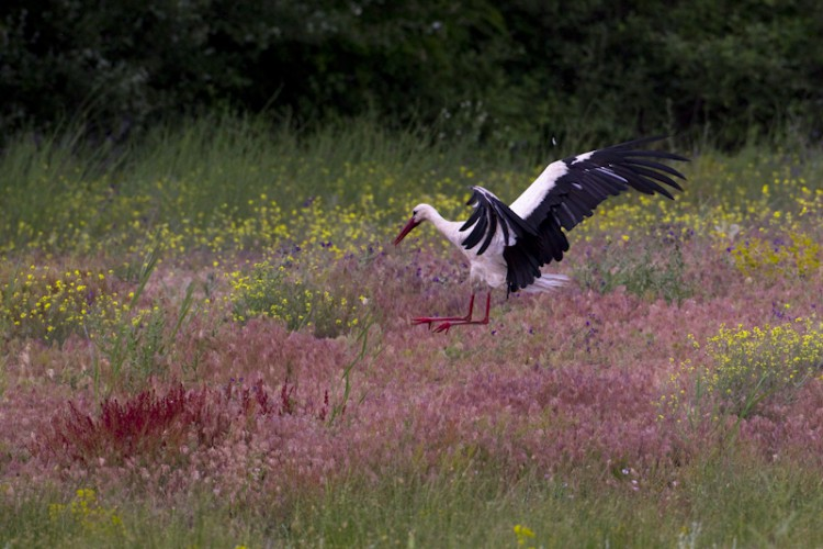 Landing Stork, Lake Prespa, Greece