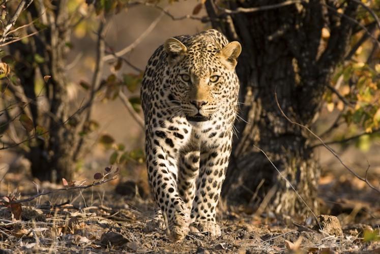 Leopard - Moremi, Botswana