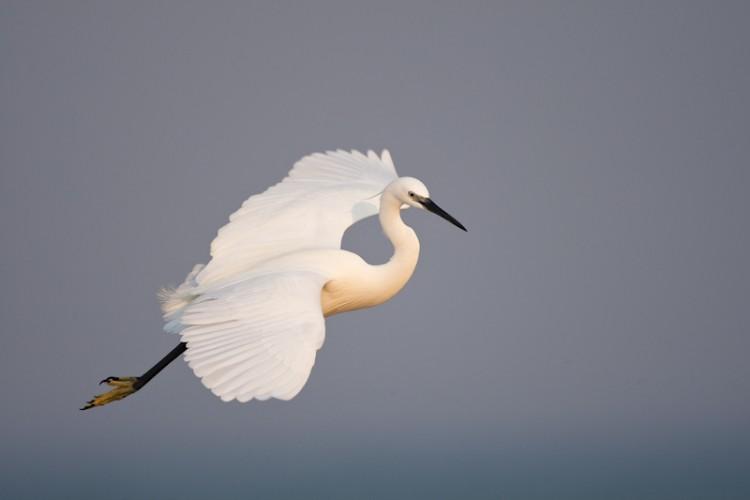 Little Egret, Benguerra Island, Mozambico