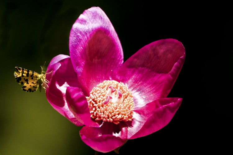 Paeonia mascula, Carso-Trieste- Italy