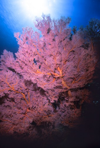 Soft-coral, Manado-Indonesia