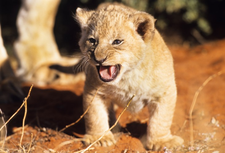 The first Roar, Lion - Kgalagadi Park, South Africa