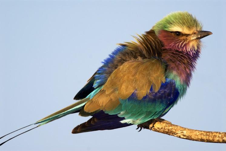 The jewel of Okavango, Lilac-breasted Roller, Botswana