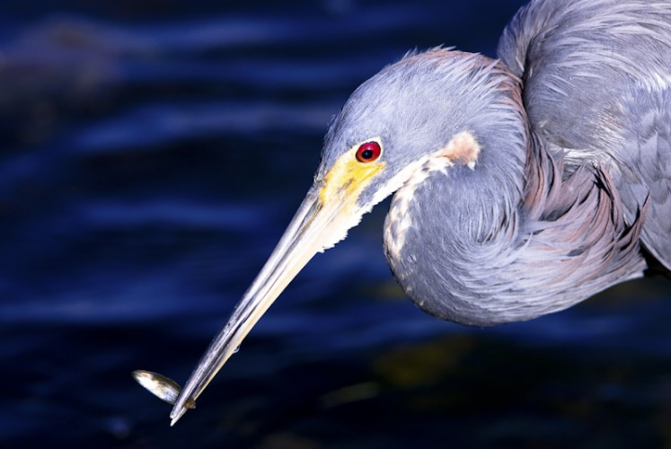 Everglades National Park, Florida U.S.A. Tricolored Heron