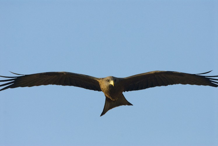 Wings, Yellow billed Kite ( Milvus aegyptius )