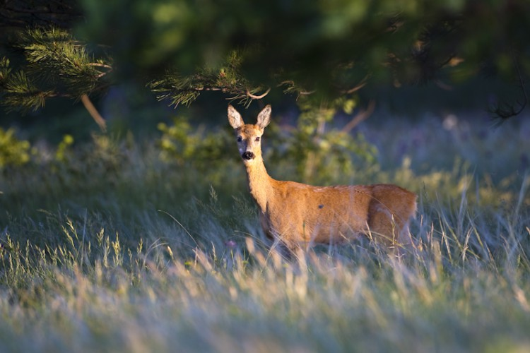 Spring morning, Roe Deer, Carso Italy