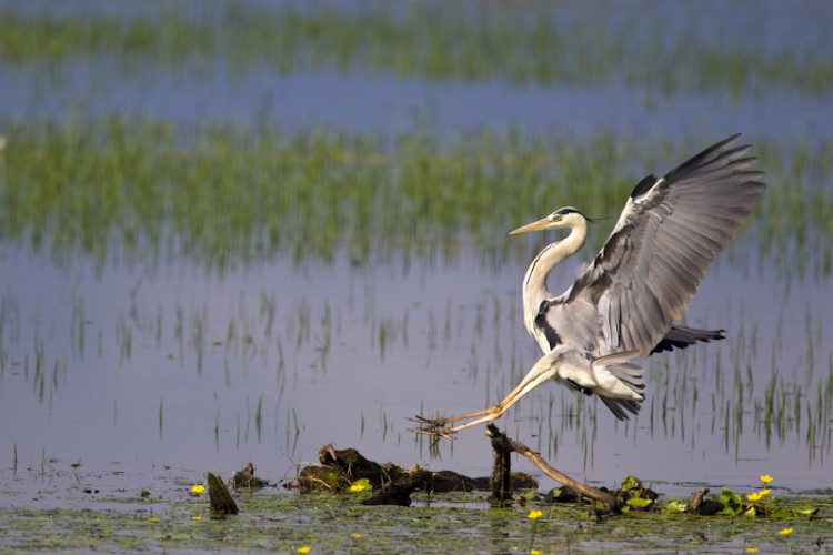 Blue Heron, Kerkini Lake, Greece