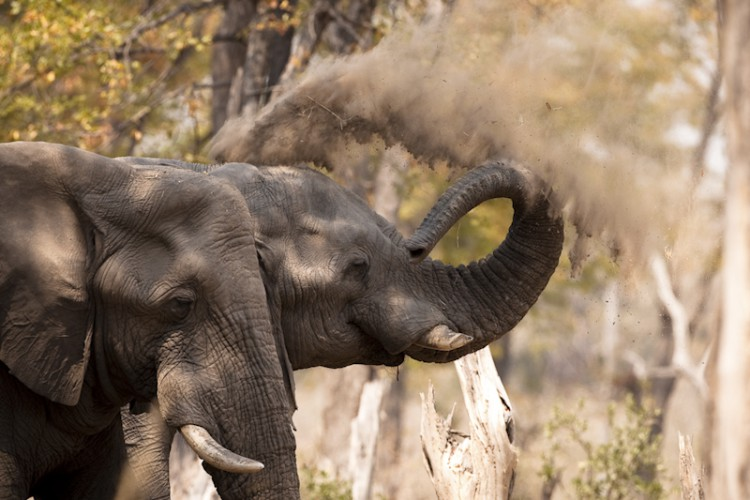 Dust Bath, Elephants,Chobe N.P., Botswana