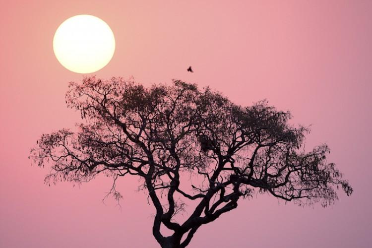 Acacia Tree, Botswana