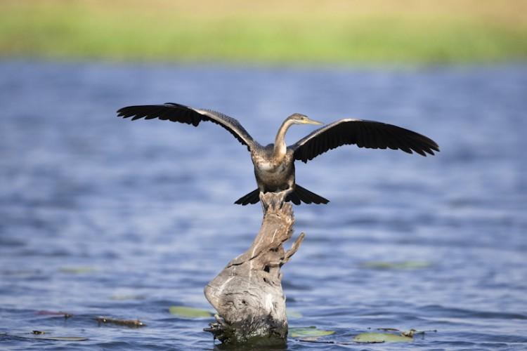 African Darter, Chobe River, Botswana