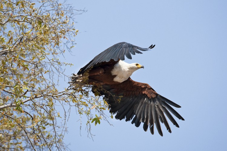 African Fish Eagle, Kruger Park, South Africa