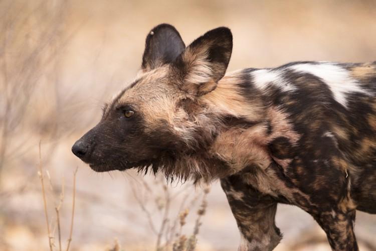 African Wild Dog, Savuti, Botswana