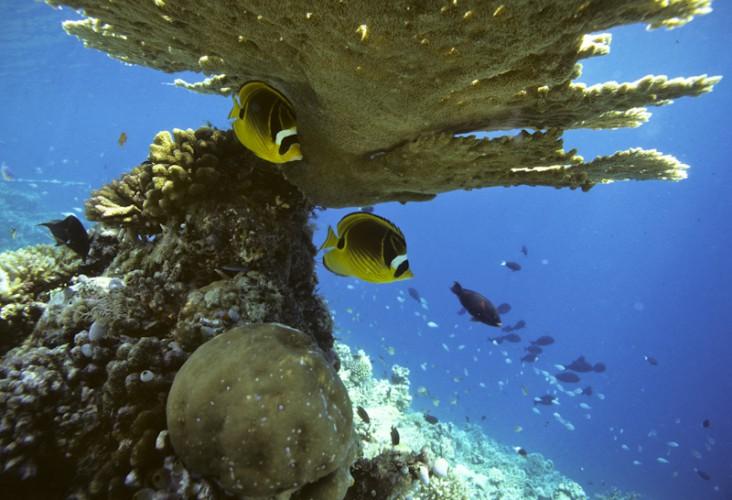 Angelfishes, Maldives Islands, Indian Ocean