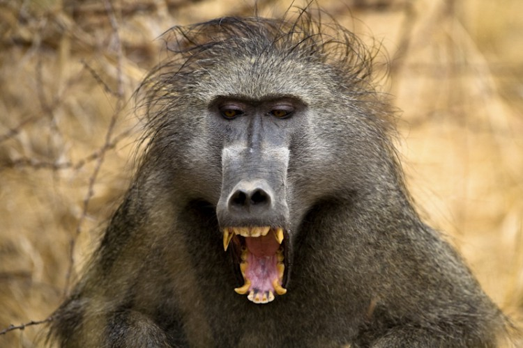 Baboon, Kruger Park, South Africa