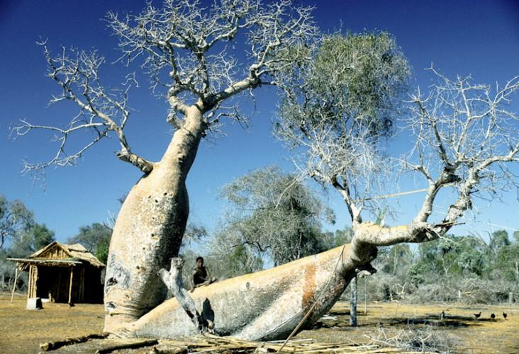 Baobab tree , Tulear, Madagascar