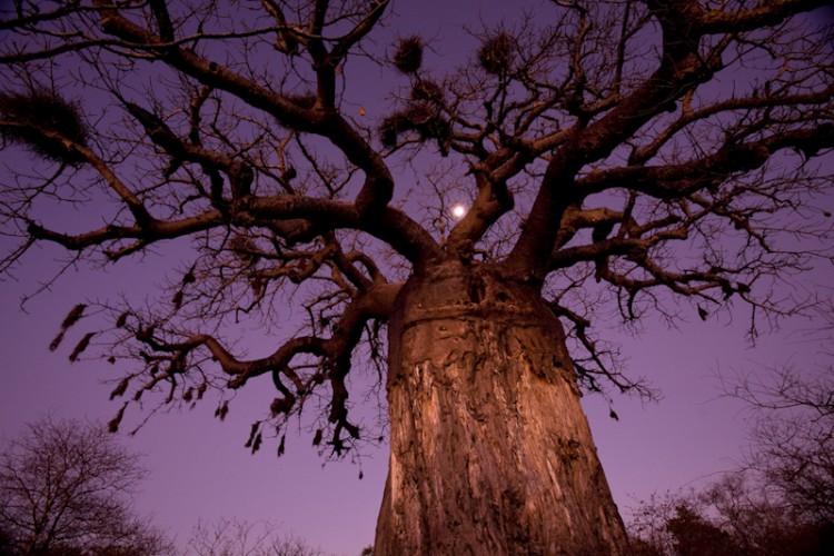 Baobab Tree, Mozambico