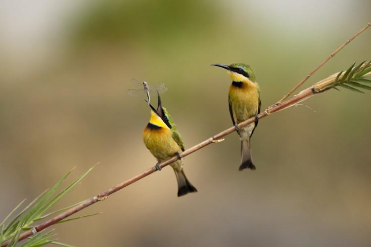 Bee-Eaters, Savuti, Botswana