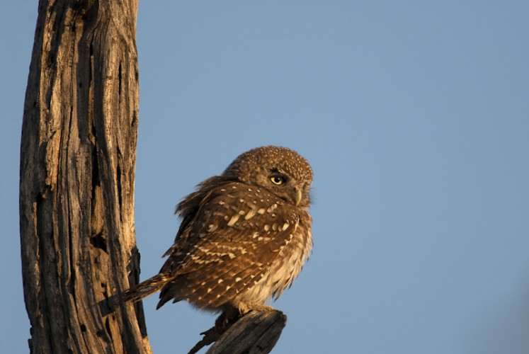 African Barred Owl, Okavango Delta, Botswana