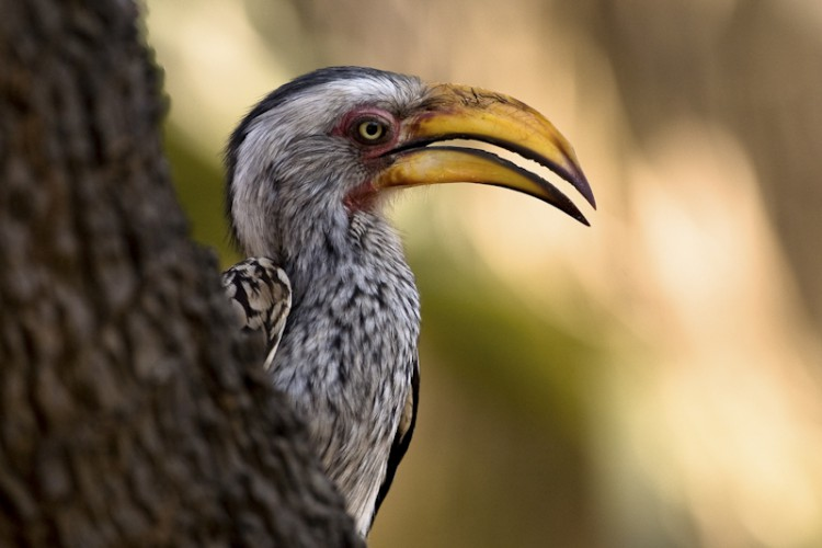 Southern yellow billed Hornbill, Kruger Park, South Africa