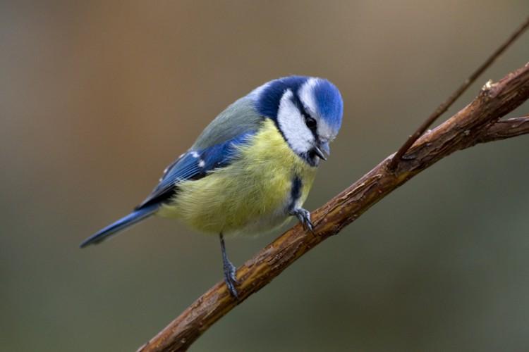 Blue Tit, Carso, Italy