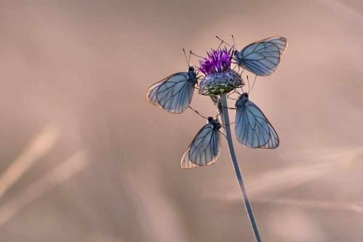 Blue Butterflies, Carso, Trieste, Italy