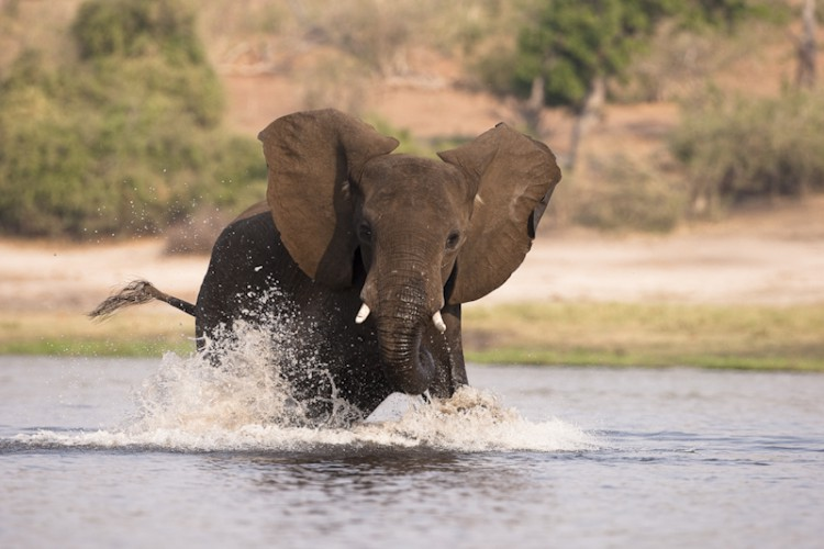 Chobe River crossing, Elephant, Botswana