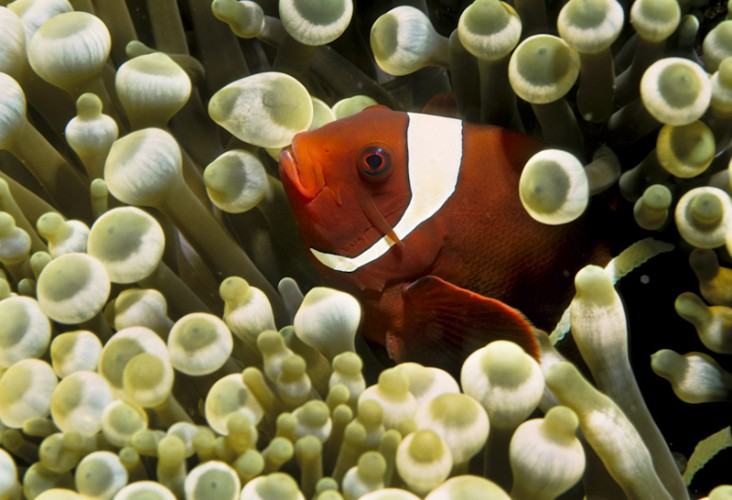 Clown Fish, Indian Ocean