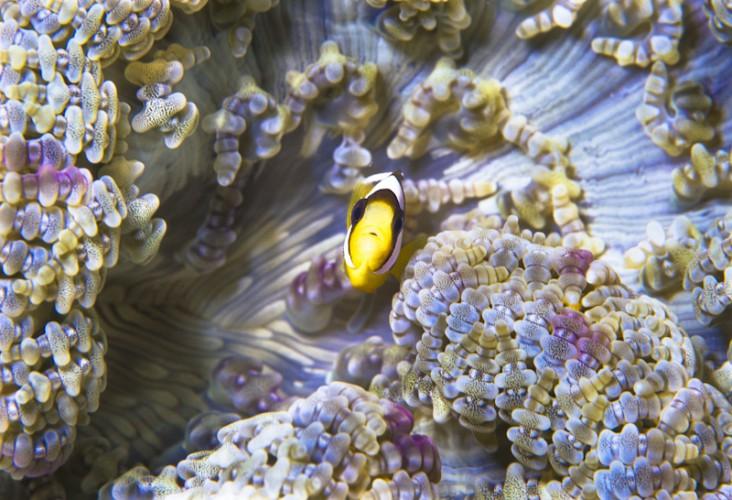 Clown-Fish, Manado, Sulawesi Island, Indo-Pacific Ocean