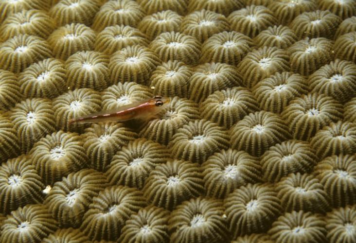 Coral, Manado, Sulawesi, Indonesia