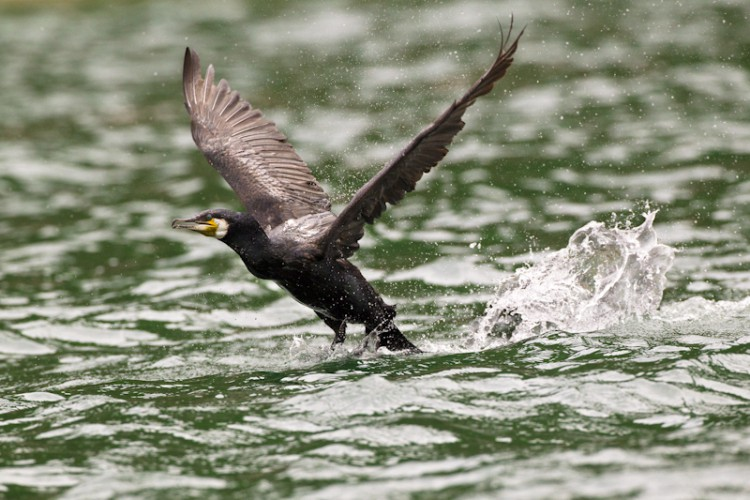 Cormorant, Lake Prespa, Greece