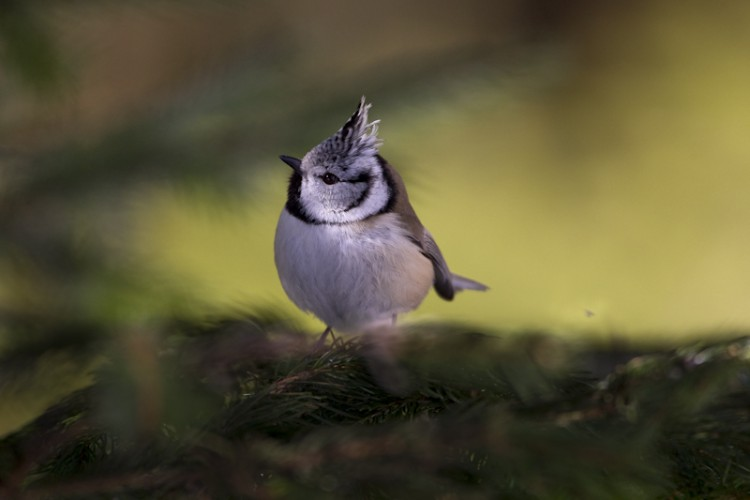 Crested Tit, Carso, Italy