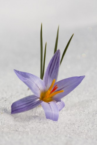 Crocus reticulatus, Carso, Trieste, Italy