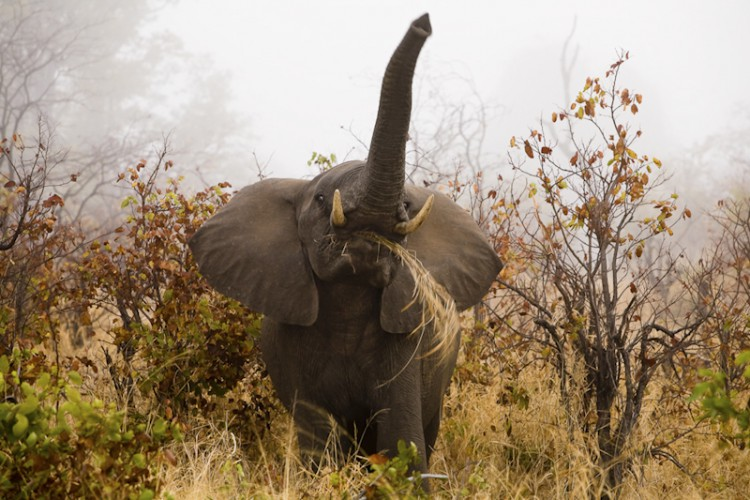 Elephant, Loxodonta africana, Kruger N.P., South Africa