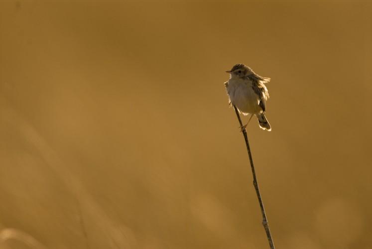 Flycatcher, Savuti, Botswana