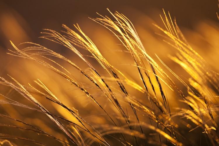 Golden Grass, carso, Trieste, Italy