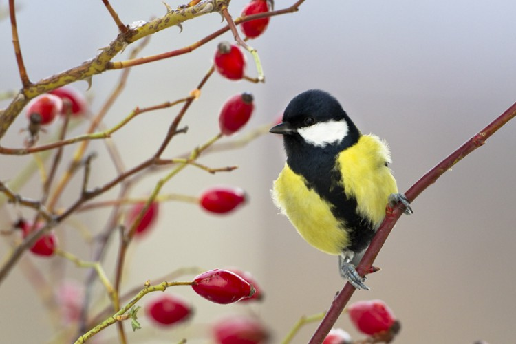 Great Tit, Carso, Trieste, Italy