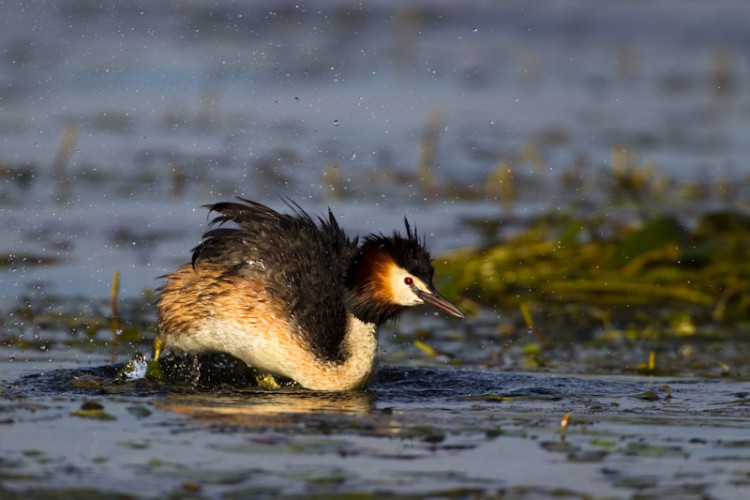 Great Crested Grebe, Lake Kerkini, Greece